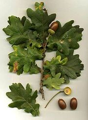 220px-Quercus robur