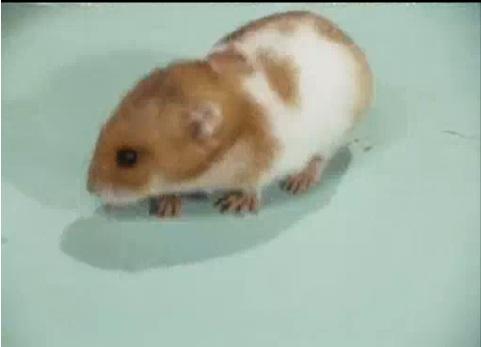 File:Issis hamster.jpg