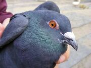 Army-pigeon