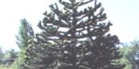 Really Big Monkey Puzzle Tree