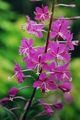 Fireweed.png