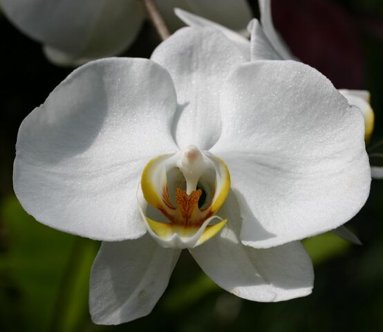 File:White Orchid.jpg