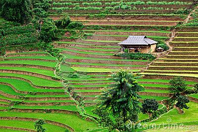 File:Vietnam-rice-paddy-field-thumb16608623.jpg