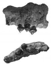 Megapiranha bones