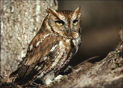 Owl-picture