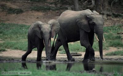 African forest elephant 1