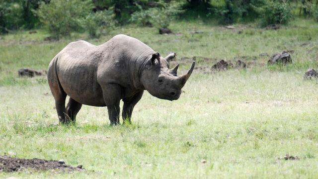 File:Black-rhino gallery 3.jpg