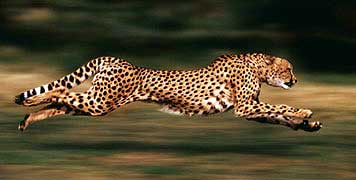File:Running-cheetah.jpg