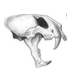 File:Dinofelis sp.jpg