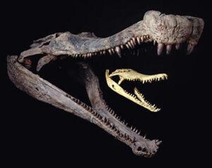 Sarcosuchus fossils