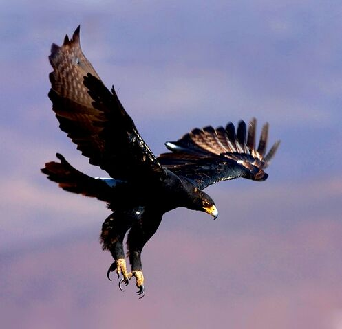 File:Black eagle2.jpg