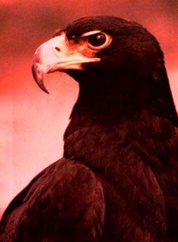 File:Black eagle.jpg