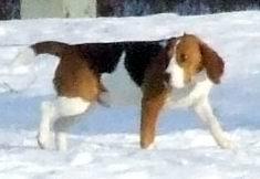 Plik:Beagle1.jpg