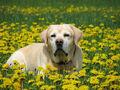 Labrador Retriver - Jespah in a dandelion sea.jpg