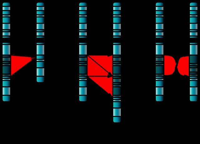 File:Single Chromosome Mutations.png