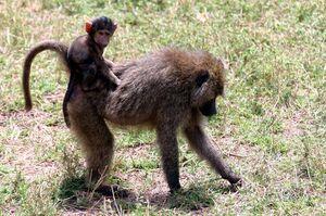 Baby baboon on back