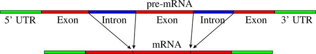 File:Pre-mRNA to mRNA.png