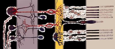 Fig retine