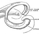Hippocampus anatomy