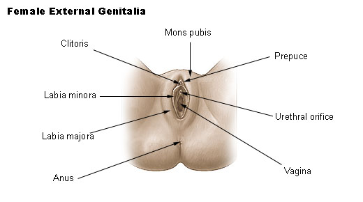 File:Illu female genitalia.jpg
