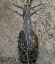 Snail climbing grass SMC 07