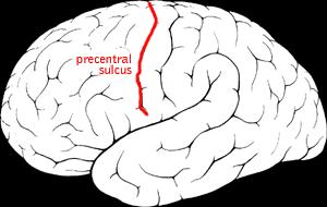 File:Precentral sulcus.png