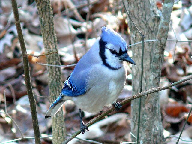 File:Blue Jay-27527.jpg