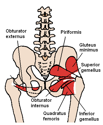 File:Posterior Hip Muscles 1.PNG