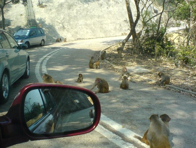 File:Monkeys in kam shan.JPG