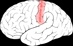 File:Postcentral gyrus.png