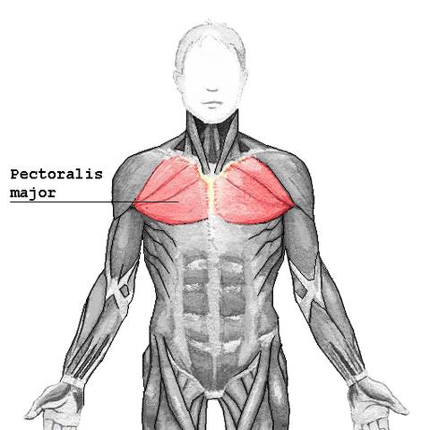 File:Pectoralis major.png