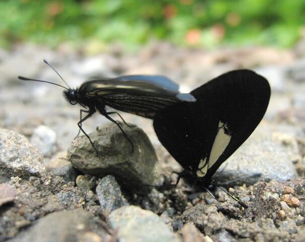 File:DirkvdM copulating black butterflies.jpg