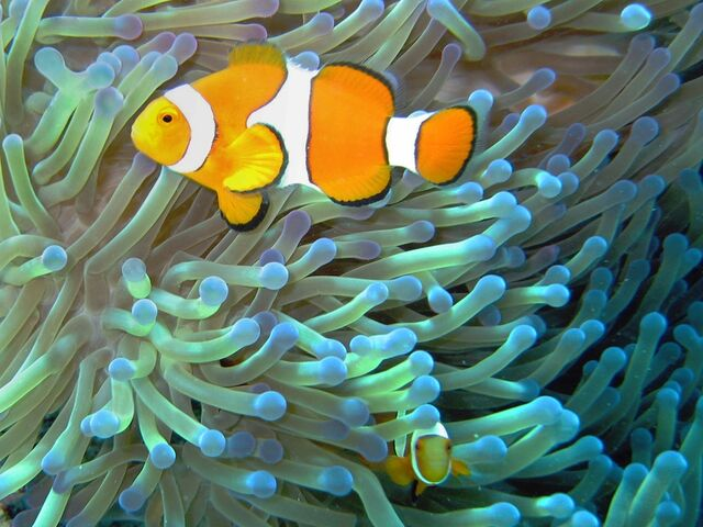 File:Common clownfish curves dnsmpl.jpg