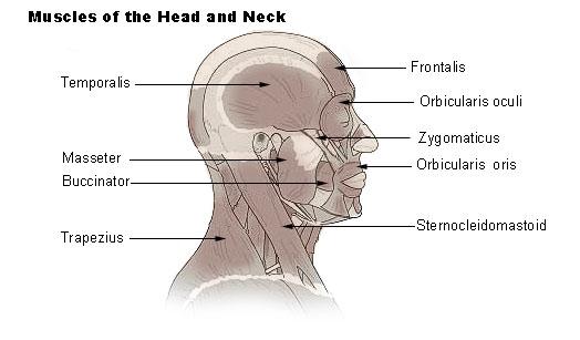 File:Illu head neck muscle.jpg