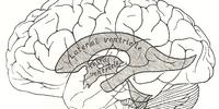 Cerebral ventricles