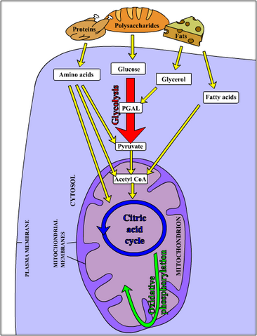File:Metabolism1.png