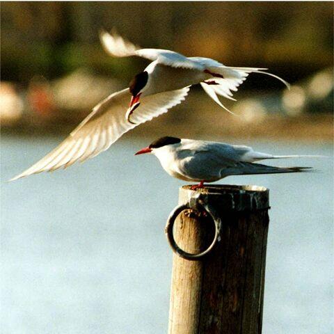 File:Arctic terns.jpg