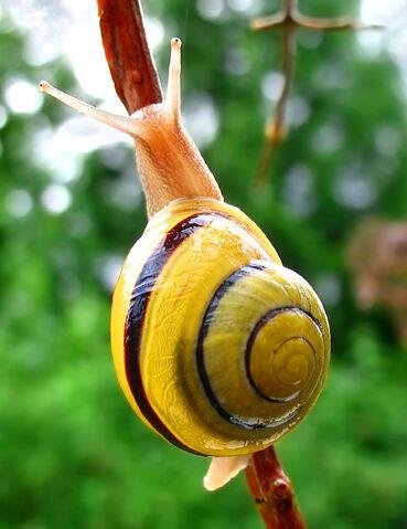 File:Snail-WA edit02.jpg