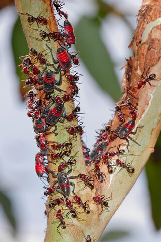 File:Common jassid nymphs and ants02.jpg