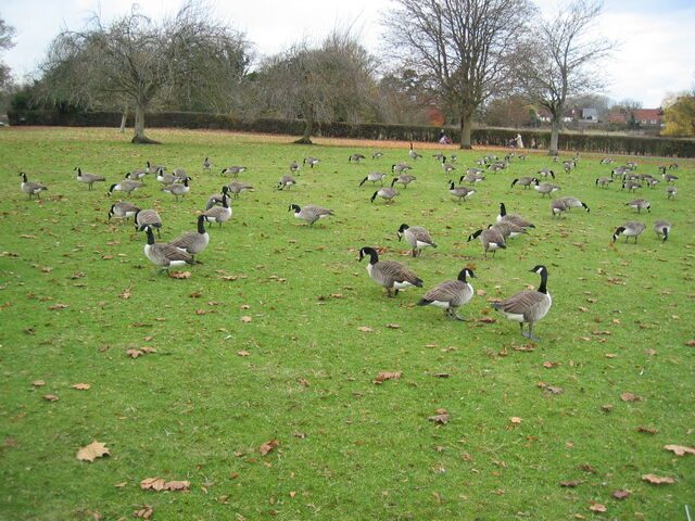 File:Flock of Canada geese.jpg
