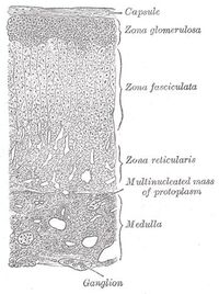 Adrenal cortex layers