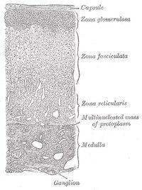 Adrenal cortex layers