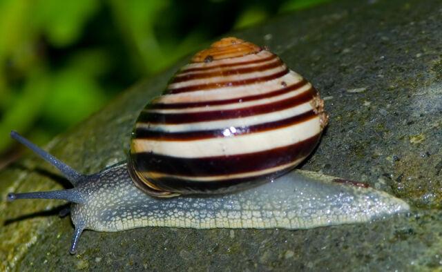 File:Snail on rock.jpg