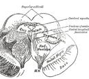 Midbrain tegmentum