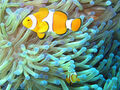 Common clownfish.jpg
