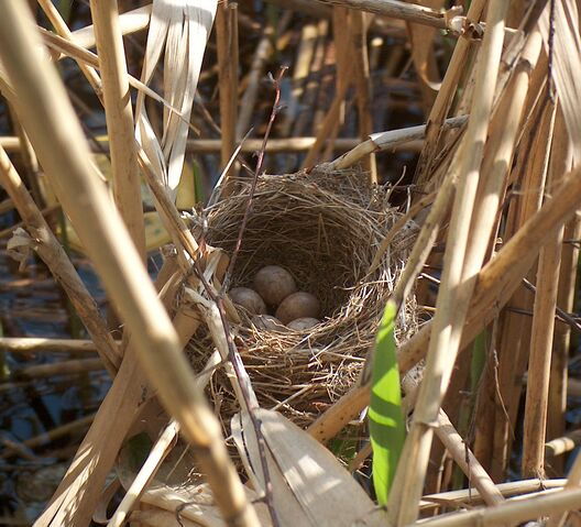 File:Acrocephalus arundinaceus nest.jpg