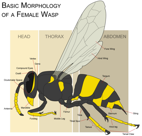 File:Wasp morphology.png