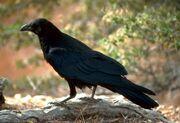 Corvus corax (FWS)