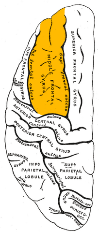 File:Gray725 middle frontal gyrus.png