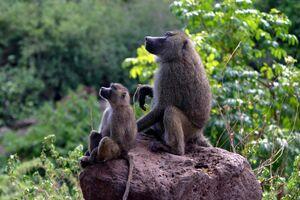 Baboons on rock